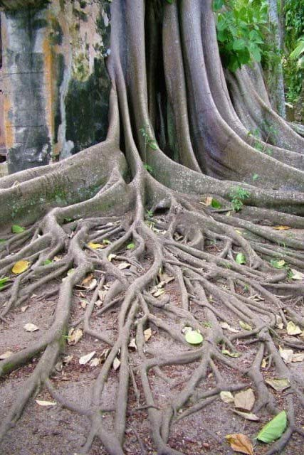balenbouche st lucia ficus tree