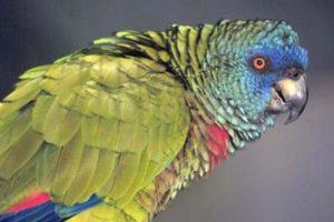 saint lucia national bird