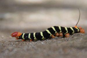 st lucia animals caterpillar