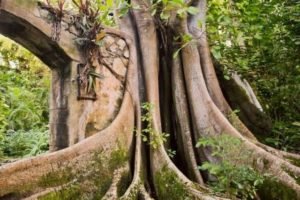 caribbean retreat center ficus tree