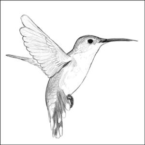 st lucia humming bird balenbouche